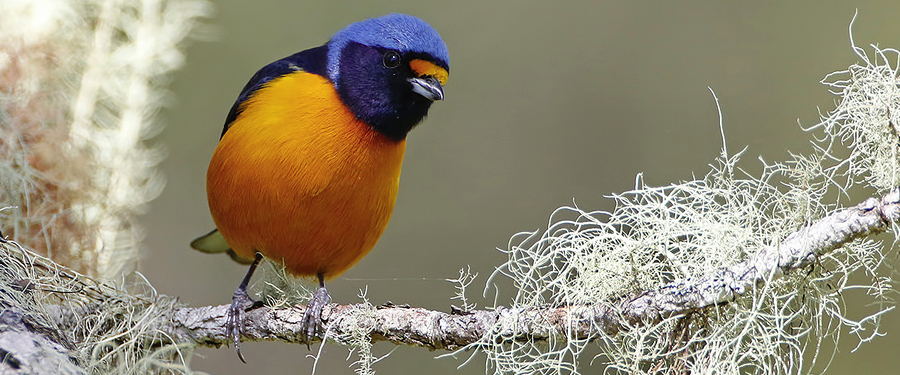 Antillean Euphonia, endemic to the Caribbean islands (photo by Dax Roman)