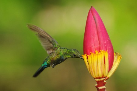 Green-throated Carib by Laurent Malglaive-HR