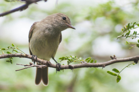 The Caribbean Elaenia can live in both forest and scrub areas, but only lives in the Caribbean. (Photo by Mark Yokoyama)