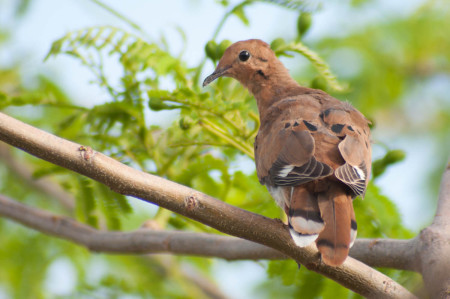 The Zenaida Dove depends on the seeds of many local plants for its diet. (Photo by Mark Yokoyama)