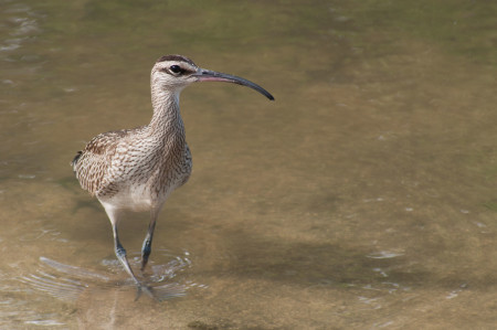 The Whimbrel has a long, curved bill that is perfect for pulling fiddler crabs from their burrows. (Photo by Mark Yokoyama)