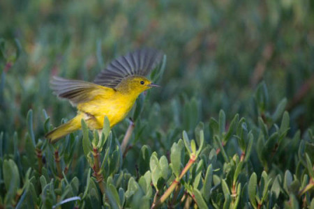 A yellow warbler on a small island in the Portland Bight Protected Area, Jamaica. (Photo: Robin Moore)