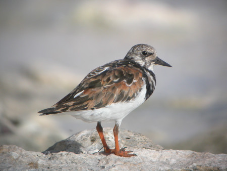 The Ruddy Turnstone travels amazing distances each year. (Photo by Anthony Levesque)