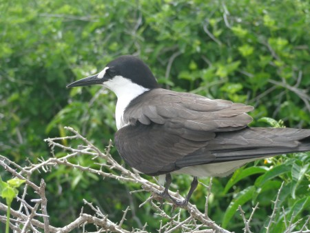 The Sooty Tern is abundant on Dog Island near Anguilla. (Photo by Farah Mukhida)