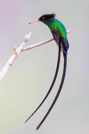 Grand Prize Winner Red-billed Streamertail by Rafy Rodriguez.