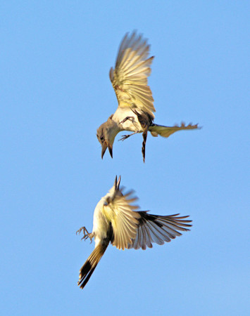 Loggerhead Kingbird attacking Northern Mockingbird by John Webster.