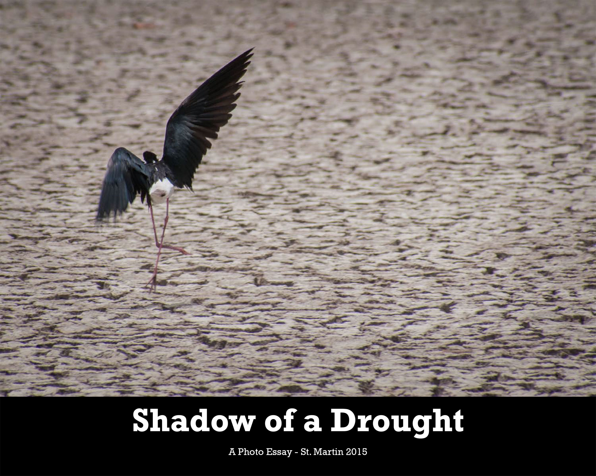 photo essay shadow of a drought birdscaribbean the photo essay shadow of a drought is available as a in both english