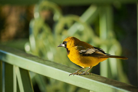 Endemics, like the Jamaican Oriole, abound in the Blue Mountains (Photo by Steve Shunk)