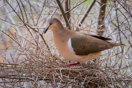 The Grenada Dove is just one of the endangered Caribbean species that depends on tropical dry forest habitat.