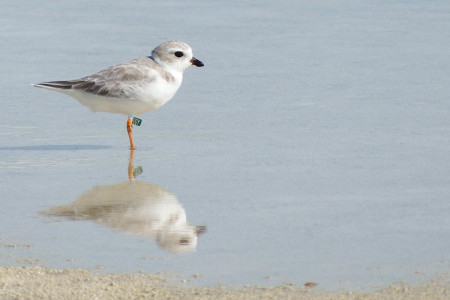 We are just beginning to understand how important the Caribbean is to the Piping Plover. (Photo by Matt Jeffery)