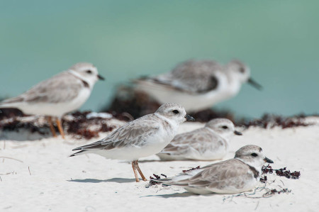 Time to brush up on your plover identification skills! (Photo by Walker Golder)
