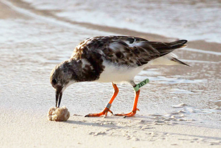 "Banded Ruddy Turnstone in Anguilla, ""2EY"""
