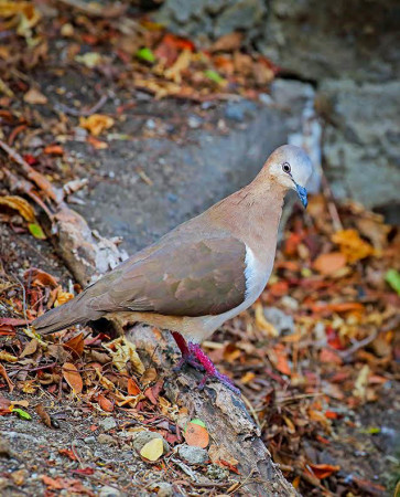 The Grenada Dove, one of the world's rarest birds. (Photo by Greg Homel)