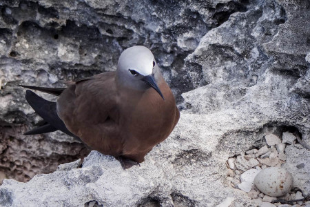 Brown Noddy, one of the seabird species nesting in high densities on the Cay Sal Bank. (Photo by Mike Sorenson)