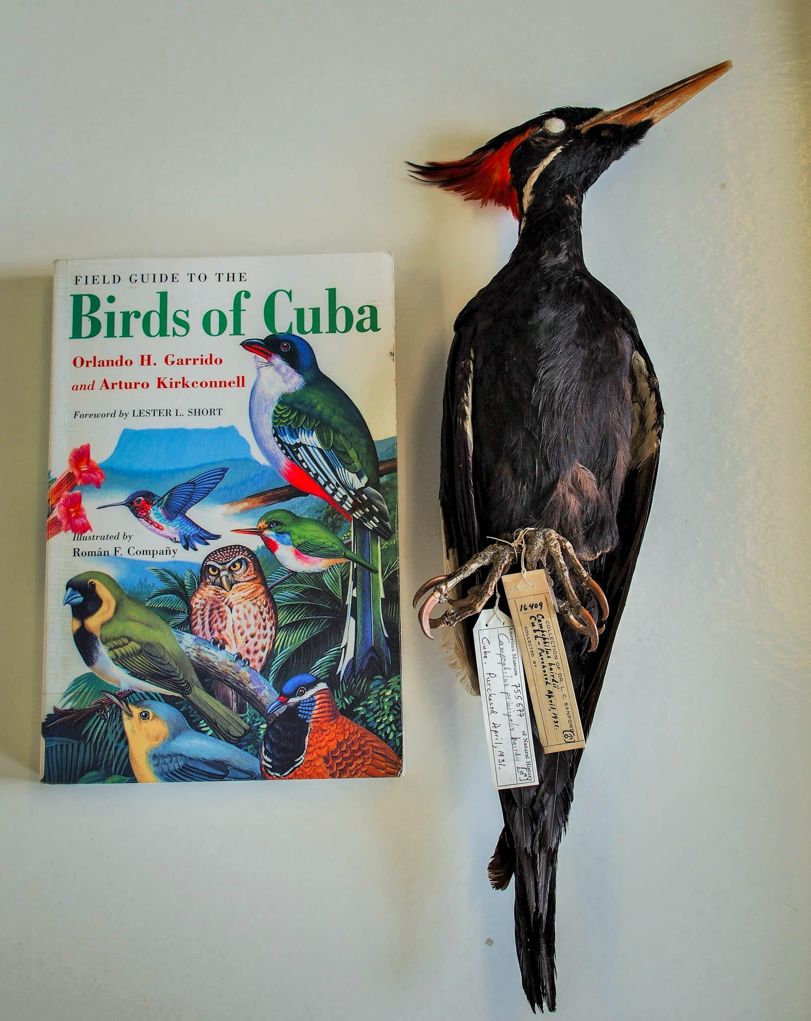 The Cuban Ivorybilled Woodpecker (campephilus Principalis Bairdii) Is  Believed To Be Extinct