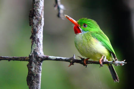 Jamaican Tody by Wendy Lee