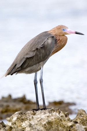 Reddish Egret (dark morph) in Cuba by Antonio Rodriguez. This medium sized heron has 2 color morphs, light and dark. It inhabits coastal wetlands in the Bahamas and Greater Antilles islands. It is known for its energetic feeding behavior, running, jumping, flying and open wing dancing in pursuit of small fish in shallow water.