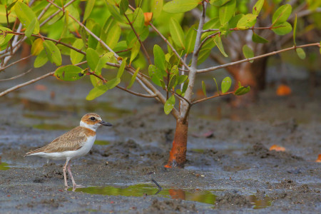 Wilson's Plover (female) at Mt Hartman wetland in Grenada by Gregg Homel. This handsome shorebird is found in coastal areas, including sandy beaches, mudflats and mangroves. It is resident and breeds on many Caribbean islands. <a href=