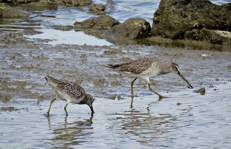 Stilt Sandpiper and Short-billed Dowitcher are 2 migratory shorebirds that depend on Caribbean wetlands to feed and rest during migration and winter. (photo by Lisa Sorenson)