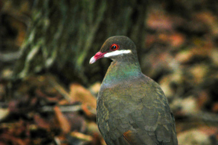A hike up the dormant Quill volcano will bring enthusiasts in close range of the Bridled Quail-dove. (Photo by Hannah Madden)