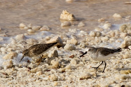 Least Sandpiper and Western Sandpiper walking on salt crystals at Cargill Salt Ponds. (photo by Jeff Gerbracht)