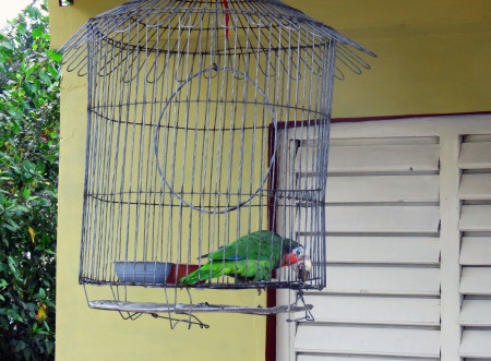 Cuban Parrots, native to the Bahamas, Cuba and the Cayman Islands are illegally captured and sold as pets or smuggled out of the country for the pet trade.