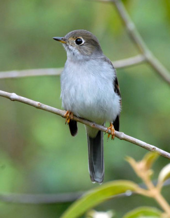 The Cuban Solitaire has a hauntingly beautiful call. (Photo by David Hill)