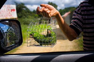 Hispaniolan Parakeets, native to Hispaniola, are illegally captured and sold for pets or smuggled out of the country for the pet trade.