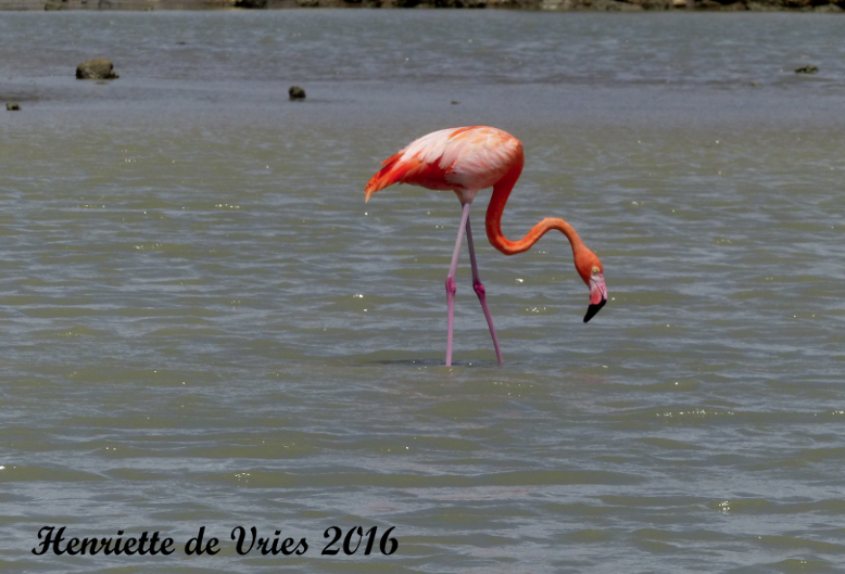American Flamingo in Curacao, counted and photographed on Global Big Day, was part of Henriette de Vries count. (photo by Henriette de Vries)
