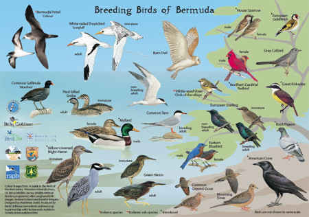 Breeding Birds of Bermuda - side 1