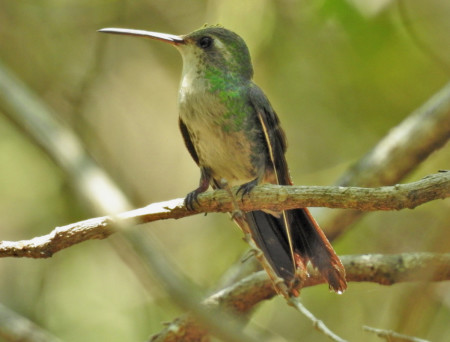 A lovely Cuban Emerald hummingbird (female), one of the species spotted by Erika Gates and her team on Global Big Day, Crabbing Bay, East Grand Bahama. (Photo by Erika Gates)