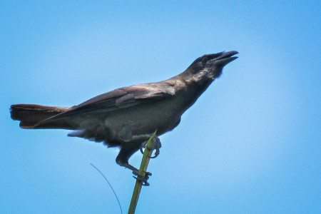 The endemic Jamaican Crow (Corvus jamaicensis) made its presence felt while perched on a slender palm frond.
