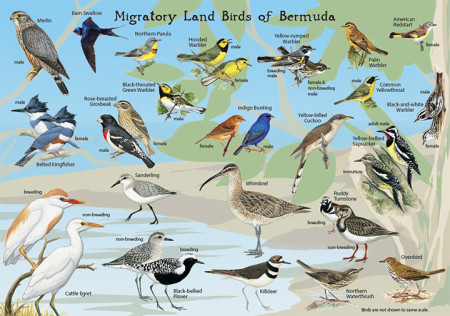 Migratory Landbirds of Bermuda-side 2-small