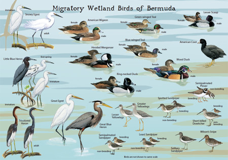 Migratory Wetland Birds of Bermuda - side 2