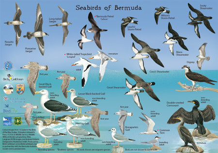 Seabirds of Bermuda-side 1-small