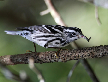 Black-and-white Warblers are one of the easiest to identify for obvious reasons. They are known also for their behavior of climbing trees upward or downward probing the bark for insects and spiders. This male was spotted foraging in the Dominican Republic. (Photo by Dax Roman).