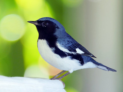 Male Black-throated Blue Warbler, overwintering at Goblin Hill Villas in Portland, Jamaica. (Photo by Stephen Shunk.)