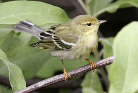 A male Blackpoll Warbler in fall migration and winter plumage, like this male seen in Guadeloupe, is rather nondescript - look for white wing bars and under tail coverts, faint side streaks and pale legs. Males in breeding plumage in spring look very different—they have a black cap and white cheek patch. (Photo by Anthony Levesque)