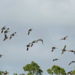 Blue-winged Teals migrate from Canada to LIS wetland in large flocks (photo by Erika Gates)
