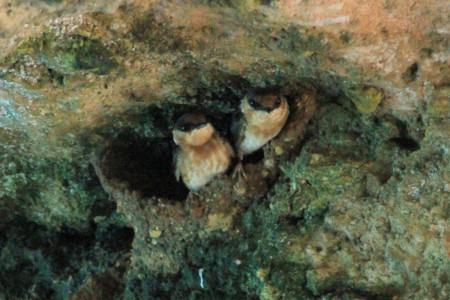 A pair of Cave Swallows looking out from their mud nest erected in an alcove of a limestone arch overhanging Jamaica's northern coastline (photo by Justin Proctor)