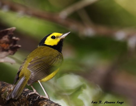 "The Hooded Warbler has a yellow face with black crown and throat forming a ""hood."" This male was photographed in Puerto Rico. (Photo by Luis R. Alvarez Lugo)"