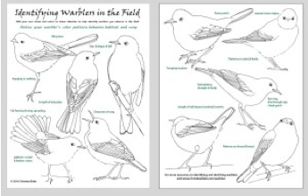 cIdentifying Warblers in the Field cheat sheet (sketches by Christine Elder)