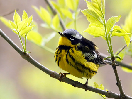 Late spring male Magnolia Warbler, showing his bold black under-stripes and just a bit of its bright yellow rump. Magee Marsh, Ohio, USA. (Photo by Stephen Shunk)