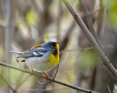 Late spring male Northern Parula, showing its brightest colors at Magee Marsh, Ohio, USA. (Photo by Stephen Shunk)