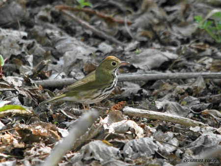 Ovenbirds tend to forage among the woodland leaf litter. Note the bold white eyeing, heavily streaked white underparts and orange crown bordered by blackish stripes. This adult was spotted in spring in Puerto Rico. (Photo by Gabriel Lugo)