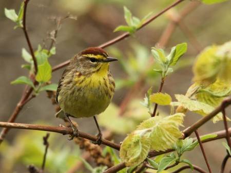 Palm Warblers constantly bob their tails, a behavior that helps to identify this species. This handsome male was spotted in Puerto Rico - the dark reddish brown crown shows this male is in breeding plumage. (Photo by Gabriel Lugo)