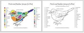 Parts of a bird cheat sheet (illustrations by Christine Elder)