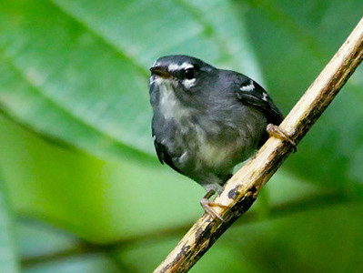 The Lesser Antillean endemic Plumbeous Warbler, showing its boldly contrasting facial and wing markings; winter in Guadeloupe. (Photo by Stephen Shunk.)