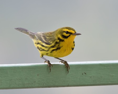 This male Prairie Warbler, spotted in the Blue Mountains of Jamaica, has yellow underparts, distinctive black side streaks, yellow eyebrow stripe and yellow patch below the eye. It bobs its tail while foraging. (Photo by Sam Woods).