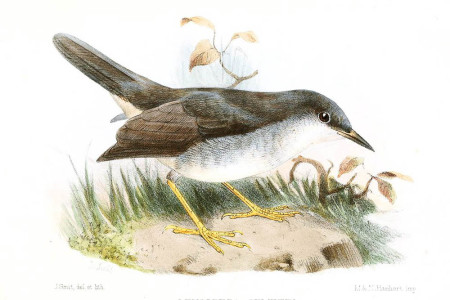 An artist's rendition of the Semper's Warbler (Joseph Smit [Public domain], via Wikimedia Commons)